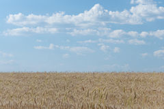 Cropland. In a sunny afternoon with blue sky and white clouds royalty free stock photography