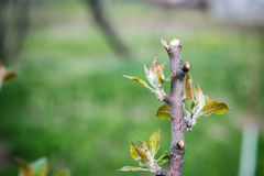 Cropped branch on apple tree, young leaves Stock Image