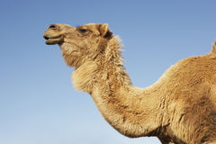 Cropped Camel Against Blue Sky Royalty Free Stock Images