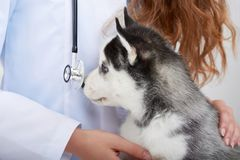 Veterinarian examining little husky puppy Stock Images