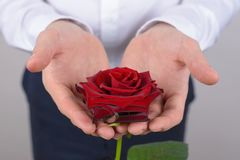 Cropped close-up photo picture of pretty beautiful nice charming rose with ideal petals isolated grey background stock image