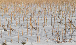 Cropped corn stubbles Royalty Free Stock Image