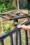Cropped hand feeding RAINBOW LORIKEET (Trichoglossus haematodus). Blurred and selective focus image, cropped hand feeding RAINBOW LORIKEET &#x28 stock image