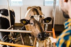 Cropped image of farmer feeding cow with hay. In stable stock photography