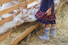 Cropped image of goats biting kids dress. At farm royalty free stock photography
