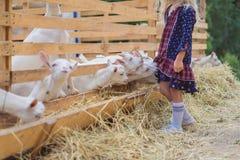 Cropped image of goats biting kids dress. At farm stock photo