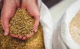 Cropped image of hand holding barley Royalty Free Stock Image