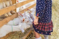 Cropped image of small goats biting kids dress. At farm stock images