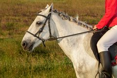 Cropped image of young woman rider, wearing red redingote and white breeches, with her horse in evening sunset light. Outdoor photography in lifestyle mood stock photography