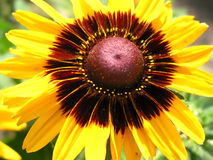 Cropped macro of sunflower Royalty Free Stock Image