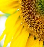 Cropped photo of sunflower Stock Image