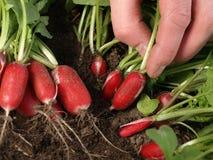 Cropped radishes Royalty Free Stock Photos