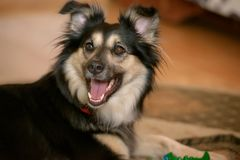 Border Collie cross-breed dog. Cropped shot of a Border Collie cross-breed dog, a cute pup in black and tan, sitting and looking curiously with mouth open Royalty Free Stock Image