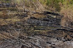 Cropped Shot Of A Burnt Wood. Burnt Trees On The Ground After A Forest Fire. stock photo