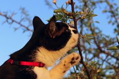 Cropped Shot Of A Cat Sniffing White Flowers Over Blue Sky Background. Tuxedo Cat And Flowers. Animals, Pets, Nature Concept. Cropped Shot Of A Cat Sniffing royalty free stock images