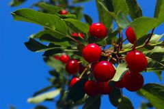 Sweet Cherries On A Branch Over Blue Sky Background. royalty free stock image
