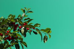 Sweet Cherries On A Branch Over Blue Sky Background. stock photography
