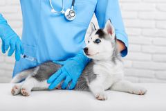 Professional veterinarian and little husky puppy Stock Photos