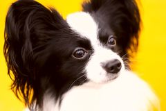 A cropped shot of a dog, looking away. Continental Toy Spaniel. Papillon Dog. royalty free stock image
