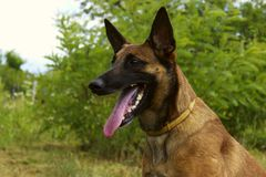 Close-Up Portrait Of A Malinois Dog  In The Park. Cropped Shot Of A Dog Outdoors. Malinois Dog. Close-Up Portrait Of A Malinois Dog  In The Park Royalty Free Stock Photos