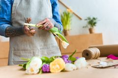 Cropped shot of florist in apron cutting. Tulip flower royalty free stock image