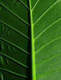 Cropped tropical leaf. Leafy stems Royalty Free Stock Images
