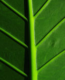 Cropped tropical leaf. Leafy stems Royalty Free Stock Photography