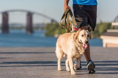 Sportsman walking with dog. Cropped view of athletic sportsman walking with golden retriever dog in city at daytime Royalty Free Stock Photography