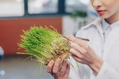 Biologist with grass in laboratory. Cropped view of biologist working with grass and tweezers in laboratory Royalty Free Stock Images