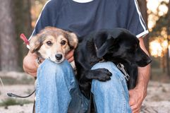 Man in blue clothes sittting and holding two dogs snuggled up to each other in forest stock images