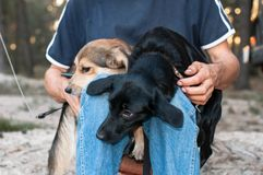man sittting with black and brown dogs snuggling up and pressing to each other royalty free stock photo