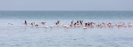 Cropped widok kierdel różowi flamingi w płytkim morzu Walvis zatoka w Namibia Obrazy Royalty Free