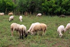 Cropping овец в луге Стоковые Изображения
