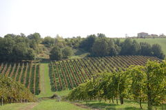 Cropping of grapes in Italy. Cropping of grapes at Italian village Stock Photo
