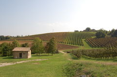 Cropping of grapes in Italy. Cropping of grapes at Italian village Royalty Free Stock Image