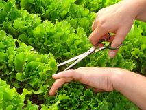 Cropping lettuce Royalty Free Stock Photo