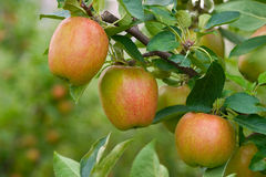 Cropps Pink apples on the branch Royalty Free Stock Image
