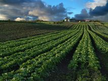 Crops. Rows of cabbage and other crops leading up a small hill to a farm graced by storm couds Stock Images