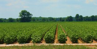 Crops. Photo of a field near Dumas, Arkansas in the delta, where crops are grown Royalty Free Stock Photo