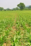 Crops. Image of young corn crops Royalty Free Stock Image
