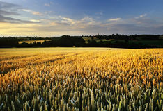 Crops Royalty Free Stock Photo