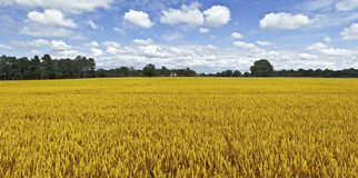 Crops Stock Photos