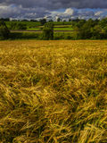 Crops. A field of crops ripening in the summer sunshine Stock Image