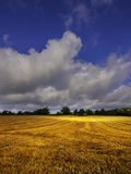 Crops. Growing in a field Royalty Free Stock Photography