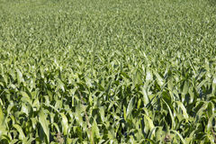 Crops Royalty Free Stock Photography