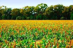 Crops. Field of crops under a blue sky Royalty Free Stock Photo