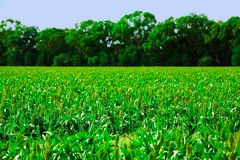 Crops Royalty Free Stock Image