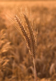 crops Immagini Stock