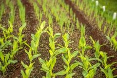 crops fotografia stock