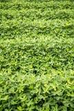 crops fotografia stock libera da diritti